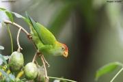 Loriculus_beryllinus004.Kitulgala.Sri_Lanka.8.12.2018