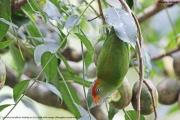 Loriculus_beryllinus007.Kitulgala.Sri_Lanka.8.12.2018