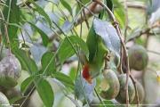 Loriculus_beryllinus013.Kitulgala.Sri_Lanka.8.12.2018