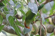 Loriculus_beryllinus005.Kitulgala.Sri_Lanka.8.12.2018