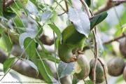 Loriculus_beryllinus009.Kitulgala.Sri_Lanka.8.12.2018