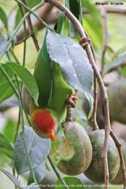 Loriculus_beryllinus012.Kitulgala.Sri_Lanka.8.12.2018
