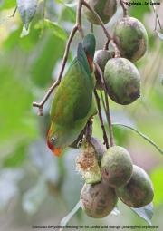 Loriculus_beryllinus014.Kitulgala.Sri_Lanka.8.12.2018