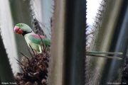 Psittacula_eupatria005.Male.Kitulgala.Sri_Lanka.8.12.2018