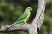 100.050.Psittacula_krameri002.Female.Yala_N.P.Sri_Lanka.1.12.2018