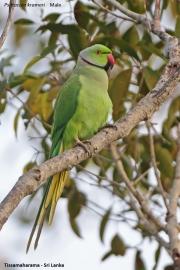 Psittacula_krameri004.Male.Tissamaharama.Sri_Lanka.30.11.2018