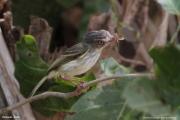 Hemitriccus_margaritaceiventer002.Pantanal.Brazylia.17.11.2013