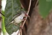 Hemitriccus_margaritaceiventer003.Pantanal.Brazylia.17.11.2013