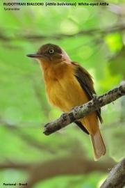 116.109.Attila_bolivianus001.Pantanal.Brazylia.15.11.2013