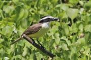 Pitangus_sulphuratus003.Pantanal.Brazylia.9.11.2013