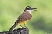 Pitangus_sulphuratus004.Pantanal.Brazylia.14.11.2013