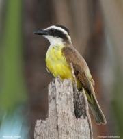 Pitangus_sulphuratus005.Pantanal.Brazylia.14.11.2013