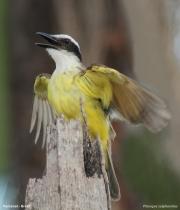 Pitangus_sulphuratus006.Pantanal.Brazylia.14.11.2013