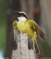 Pitangus_sulphuratus007.Pantanal.Brazylia.14.11.2013