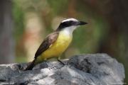 Pitangus_sulphuratus008.Pantanal.Brazylia.14.11.2013