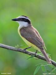 Pitangus_sulphuratus009.Pantanal.Brazylia.15.11.2013
