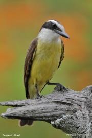 Pitangus_sulphuratus010.Pantanal.Brazylia.17.11.2013