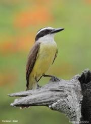 Pitangus_sulphuratus011.Pantanal.Brazylia.17.11.2013