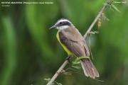 116.118.Pitangus_lictor001.Pantanal.Brazylia.16.11.2013