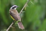 Pitangus_lictor003.Pantanal.Brazylia.16.11.2013