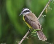 Pitangus_lictor004.Pantanal.Brazylia.16.11.2013
