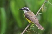 Pitangus_lictor002.Pantanal.Brazylia.16.11.2013