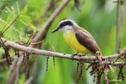 Pitangus_lictor005.Pantanal.Brazylia.16.11.2013