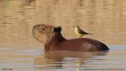 Machetornis_rixosa004.Pantanal.Brazylia.13.11.2013
