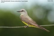 116.139.Tyrannus_melancholicus001.Pantanal.Brazylia.11.11.2013