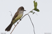 Myiarchus_tyrannulus0002.Pantanal.Brazylia.13.11.2013