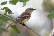116.262.Cnemotriccus_fuscatus001.Pantanal.Brazylia.15.11.2013