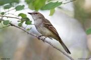 Cnemotriccus_fuscatus002.Pantanal.Brazylia.15.11.2013