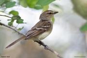 Cnemotriccus_fuscatus003.Pantanal.Brazylia.15.11.2013