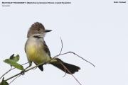 116.174.Myiarchus_tyrannulus001.Pantanal.Brazylia.13.11.2013