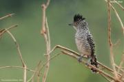 Thamnophilus_doliatus002.Male.Pantanal.Brazylia.17.11.2013