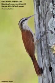 124.044.Lepidocolaptes_angustirostris001.Pantanal.Brazylia.14.11.2013