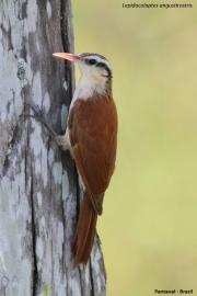 Lepidocolaptes_angustirostris002.Pantanal.Brazylia.14.11.2013