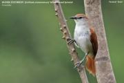 125.193.Certhiaxis_cinnamomeus001.Pantanal.Brazylia.12.11.2013