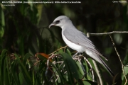 138.032.02.Coracina_papuensis_hypoleuca001.Cairns.Australia.2.08.2015