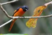 Pericrocotus_flammeus002.Male.Kitulgala.Sri_Lanka.7.12.2018