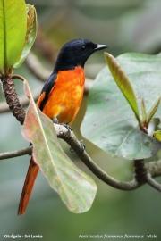Pericrocotus_flammeus003.Male.Kitulgala.Sri_Lanka.7.12.2018
