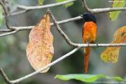 Pericrocotus_flammeus004.Male.Kitulgala.Sri_Lanka.7.12.2018