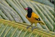 Oriolus_xanthornus002.Udawalawe.Sri_Lanka.29.11.2018