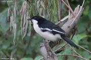 Laniarius_aethiopicus005.Kenia.PJ.10.12.2014