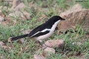Laniarius_aethiopicus006.Kenia.PJ.10.12.2014