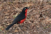156.039.Laniarius_erythrogaster001.Queen_Elizabeth_N.P.Uganda.PJ.25.02.2011