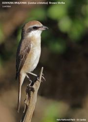 159.008.Lanius_cristatus001.Yala_NP.Sri_Lanka.1.12.2018