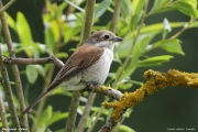 Lanius_collurio026.Female.Kleszczowek.Suwalki.PJ.17.06.2017