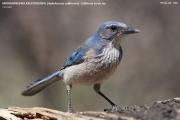 Aphelocoma_californica001.Portal.Arizona.USA.MJ.25.03.2013