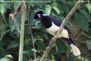 Cyanocorax_chrysops001.Iguacu_N.P.Brazylia.3.11.2013